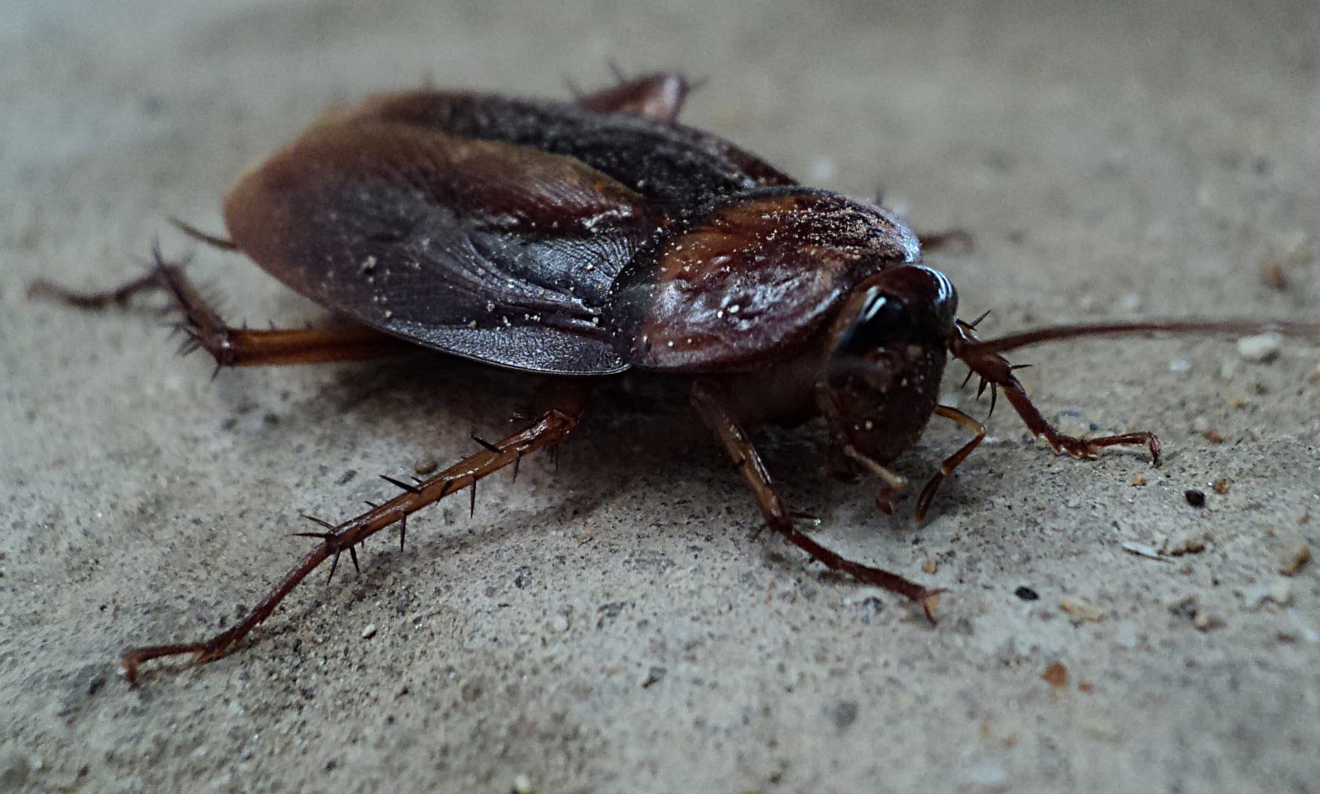 Cockroach Infestation Keep Them Away Using Peppermint Oil
